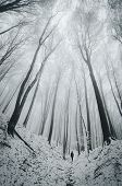 picture of trough  - Vertical photo of forest in winter with man walking trough huge trees - JPG