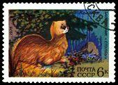 Vintage  Postage Stamp. Siberian Marten.