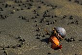 stock photo of hermit  - A hermit crab is walking on the coast in sand. ** Note: Soft Focus at 100%, best at smaller sizes - JPG