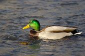 foto of male mallard  - Male Mallard Duck Swimming in a River - JPG