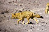 Culpeo (Andean fox), Bolivia