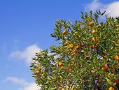 foto of satsuma  - Satsuma Mandarin tree with fruits on blue sky background - JPG