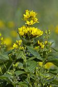 Yellow Loosestrife - Lysimachia vulgaris