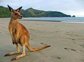 foto of kangaroo  - Kangaroo watching the sunrise on the beach at Cape Hillsborough National Park, Queensland, Australia