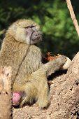 Olive Baboon Eating A Sausage Tree Fruit Kigelia