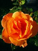 foto of orange blossom  - close photo of orange blossom of a rose - JPG