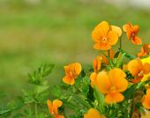 stock photo of viola  - pretty little orange viola on green background  - JPG