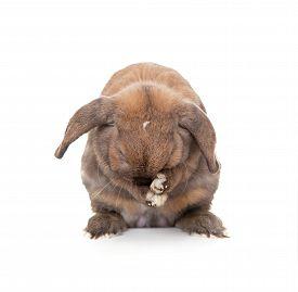 picture of dwarf rabbit  - Rabbit washes - JPG