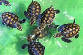 picture of green turtle  - Baby Green Turtles in Small Pool - JPG