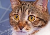 foto of blue tabby  - Cute adult tabby with long moustaches over blue background - JPG