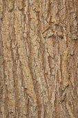 Elm Bark