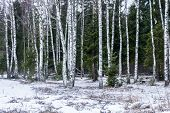 pic of birching  - Long white trunks of birch trees on a background of green trees - JPG