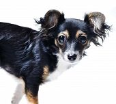 picture of toy dogs  - photo of toy terrier dog isolated on white - JPG