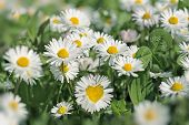 stock photo of daisy flower  - Heart in daisy flower  - JPG