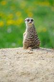 pic of meerkats  - Meerkat on watch with green grass full of dandelions in background - JPG