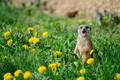 image of sticking out tongue  - Meerkat with open mouth and stick out tongue standing on green grass full of yellow dandelions - JPG