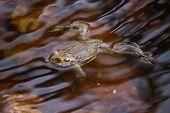 stock photo of orange frog  - Moor frog  - JPG
