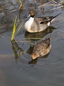 picture of duck-hunting  - a pair of beautiful wild brown ducks swimming in the pond and the green sedge grows vertically - JPG