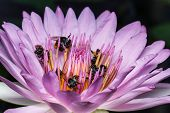 foto of water bug  - Bee on water lily close up shot - JPG