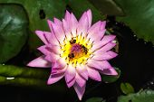 stock photo of water bug  - Bee on Purple water lily in pond - JPG