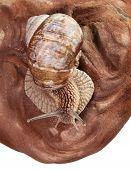 foto of helix  - Macro of Burgundy snail  - JPG
