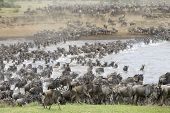 Постер, плакат: Herd of Wildebeest migration