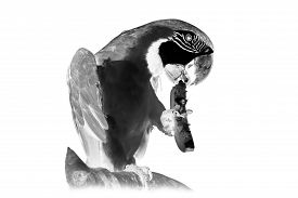 picture of inverted  - Black and white portrait of parrot ara - JPG