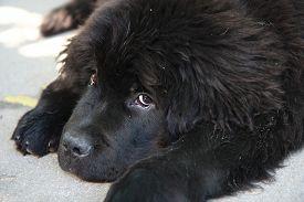image of newfoundland puppy  - Portrait of the cute puppy of Newfoundland dog - JPG