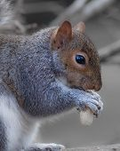 Постер, плакат: grey or gray squirrel