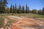 Pine trees at Soda Springs, Yosemite