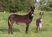 Two Donkeys, Mother And A Cub