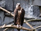 Cinereous Vulture in rocks background