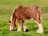 Young Clydesdale Horse Grazing