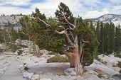Pine trees along Olsted Trail, Yosemite