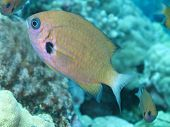 stock photo of damselfish  - curious agile chromis damselfish over the coral reef in Kona - JPG