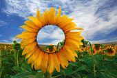 Transparent Sunflower