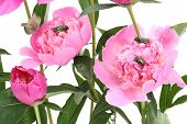 Pink  Peonies And Bugs