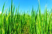 Close Up Of Organic Rice Green Leaf In The Rural Rice Paddy Fields With Blue Sky And Cloud At Countr poster