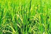 Close Up Of Organic Rice Produce Grain In The Rural Rice Paddy Fields At Countryside Of North Region poster