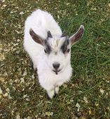 picture of pygmy goat  - Black and white pygmy goat with a smile - JPG