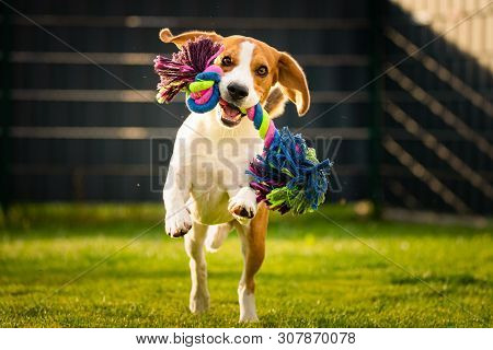 poster of Beagle Dog Runs In Garden Towards The Camera With Colorful Toy.