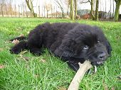Newfoundland dog chewing