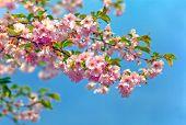 blühen Mandeln Baum