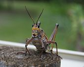 Grasshopper on a Post
