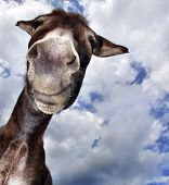 stock photo of herbivore animal  - Comical looking donkey with many fun in his face - JPG