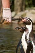 A Pinguin Is Being Fed