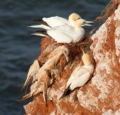 A Deceased Gannet
