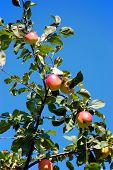 Apple-Tree With Apples