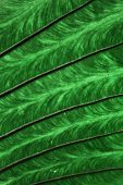 Green Leaf Texture Or Leaf Background. Close Up Green Leaf poster