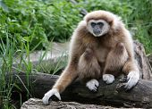 Beautiful male gibbon